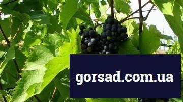 vinograd-ob2