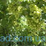 vinogradik1