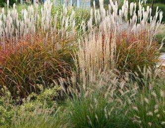 Пампасная трава в дизайне отечественных клумб и цветников