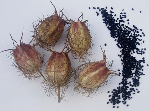 Плоды и семена нигеллы дамасской