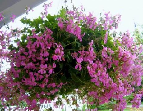 ампельные растения на даче