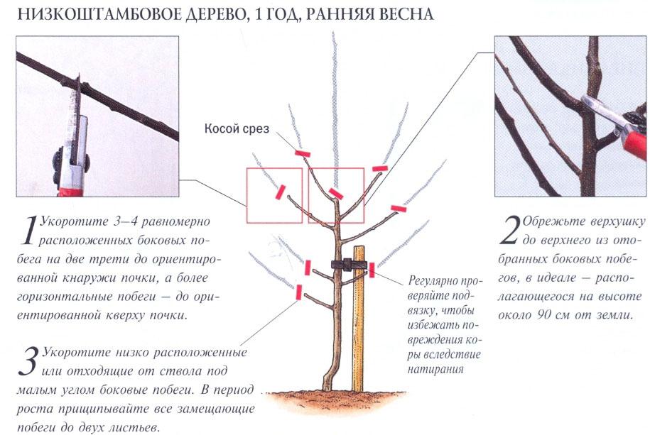 Формирование молодого дерева