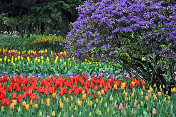 Рододендрон и тюльпаны