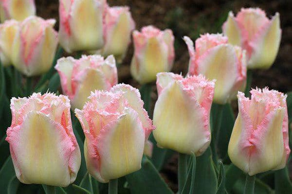 Сорт тюльпана Double Early Tulips