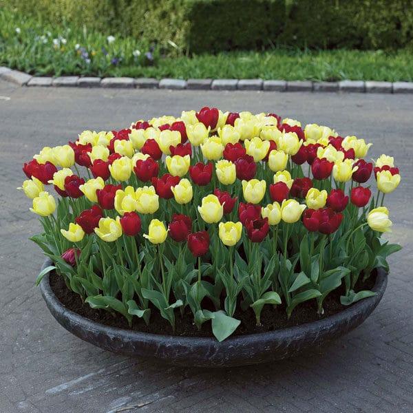 Тюльпаны в каменной клумбе
