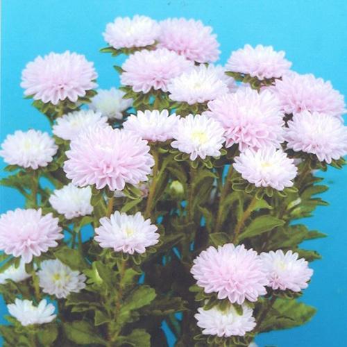 Розовый Каллистефус