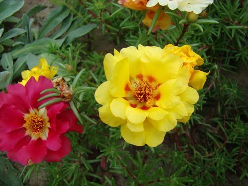 Большие цветы Портулака
