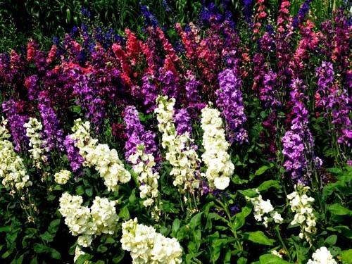 Цвета маттиолы седой