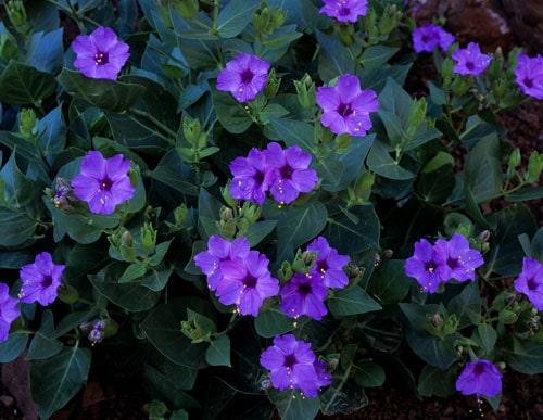 Голубые цветы мирабилиса