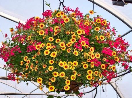 ампельные растения - альтернатива люстре