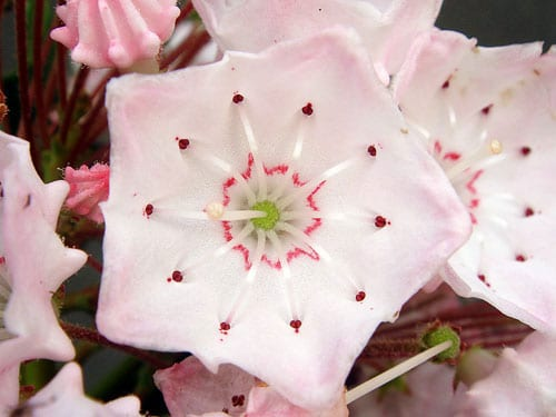 Цветок кальмии