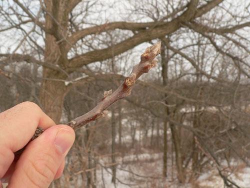 Веточка ореха зимой