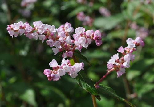 Цветы горца