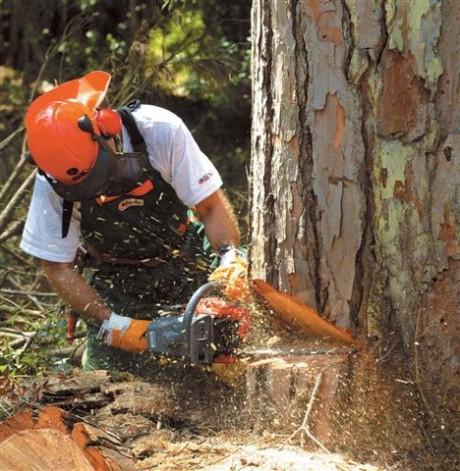 Валка деревьев бензопилой