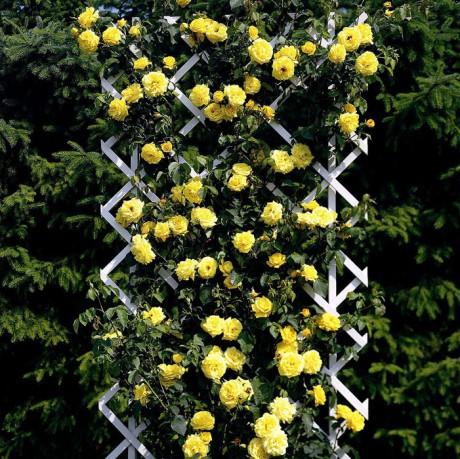 плестистые розы на шпалере