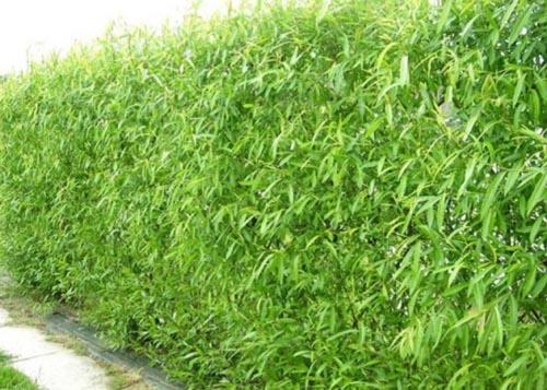 Ярко-зеленая изгородь