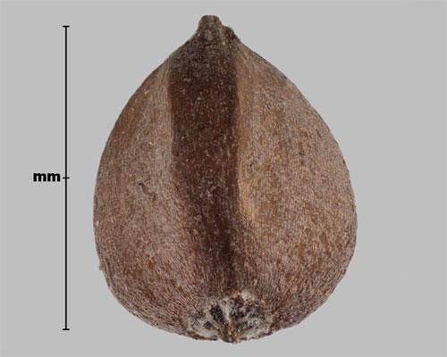 Семя горца