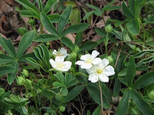 Лапчатка белая (Potentilla alba)
