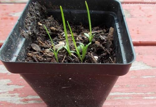 Выращивание лиатриса из семян
