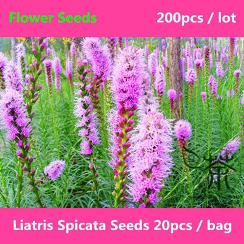 Семена для посадки лиатриса