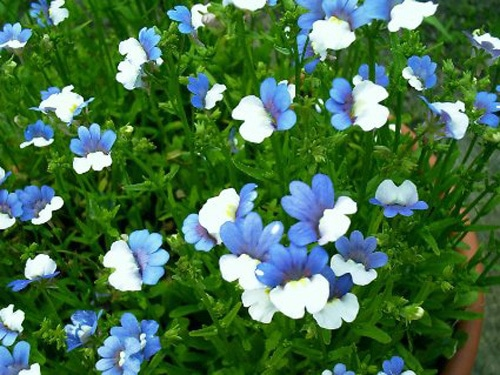 Немезия белая с голубым