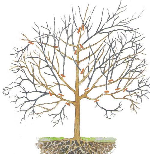 Обрезка дерева ореха