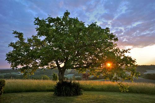 Дерево ореха