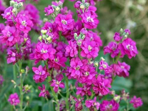 Цветы маттиолы
