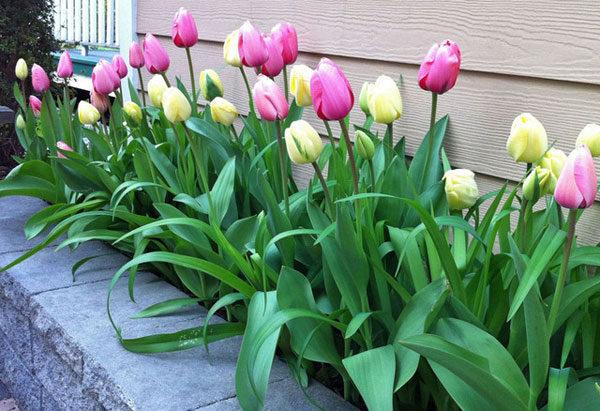 Ряд тюльпанов у стены